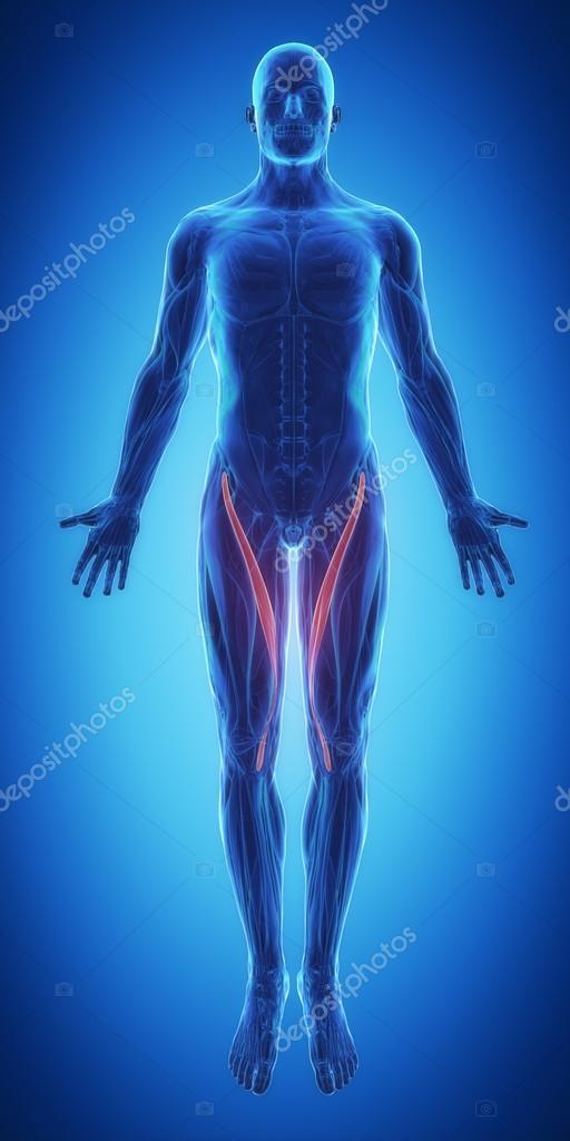 Sartorius - mapa de anatomía de los músculos — Fotos de Stock ...