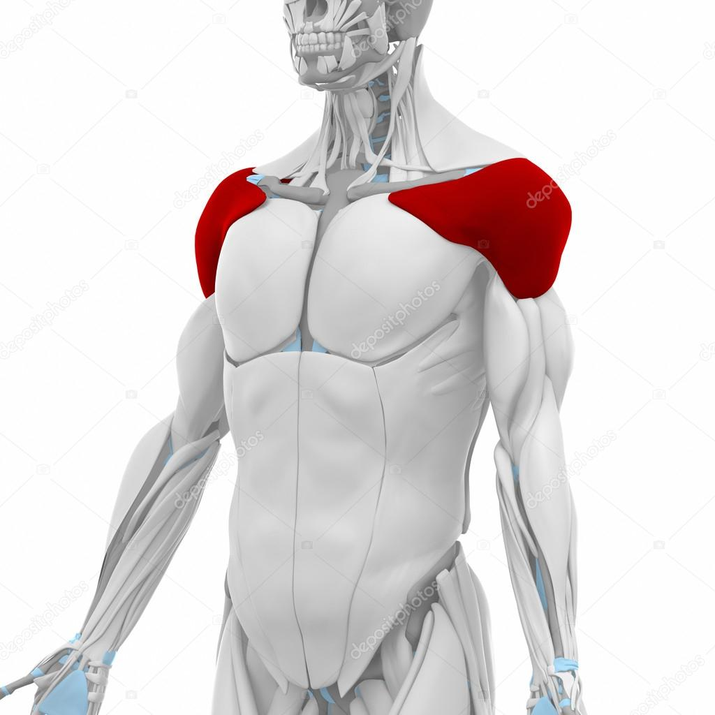 Deltoid - Muscles anatomy map — Stock Photo © CLIPAREA #88087702