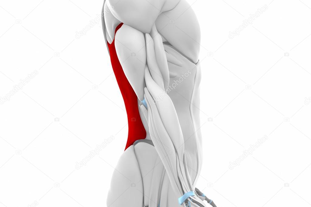 mapa de anatomía de los músculos dorsal ancho — Fotos de Stock ...