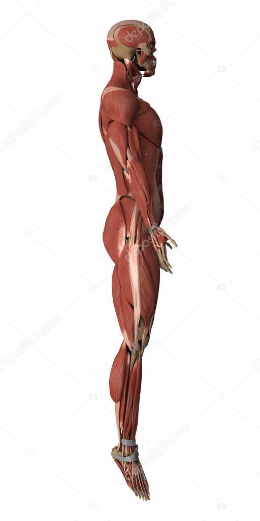Mapa de anatomía de músculos masculino — Fotos de Stock © CLIPAREA ...
