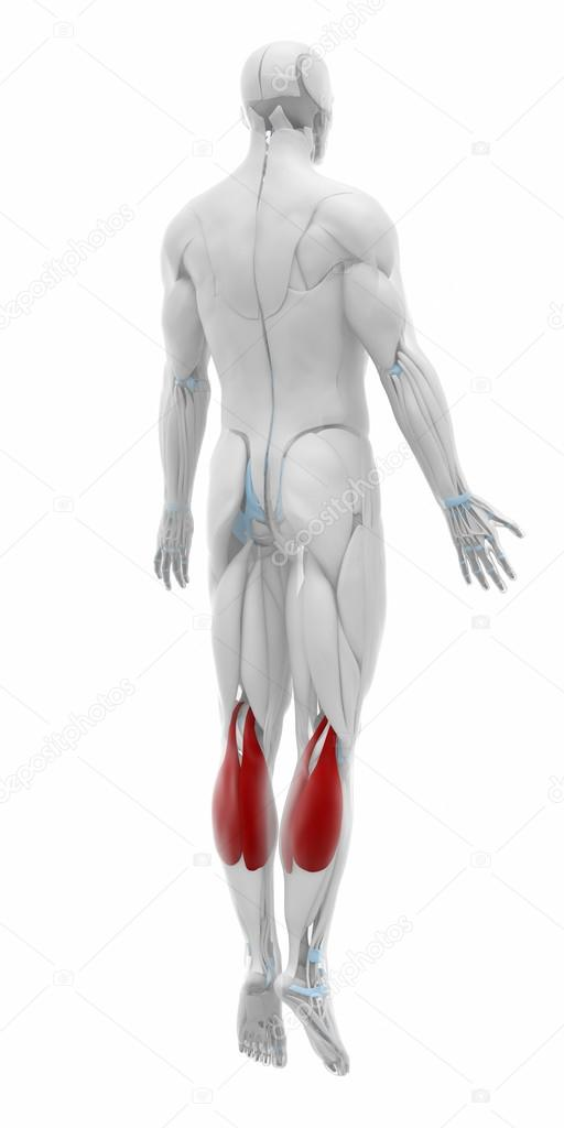 Gastrocnemius Muscles Anatomy Map Stock Photo Cliparea 88087774