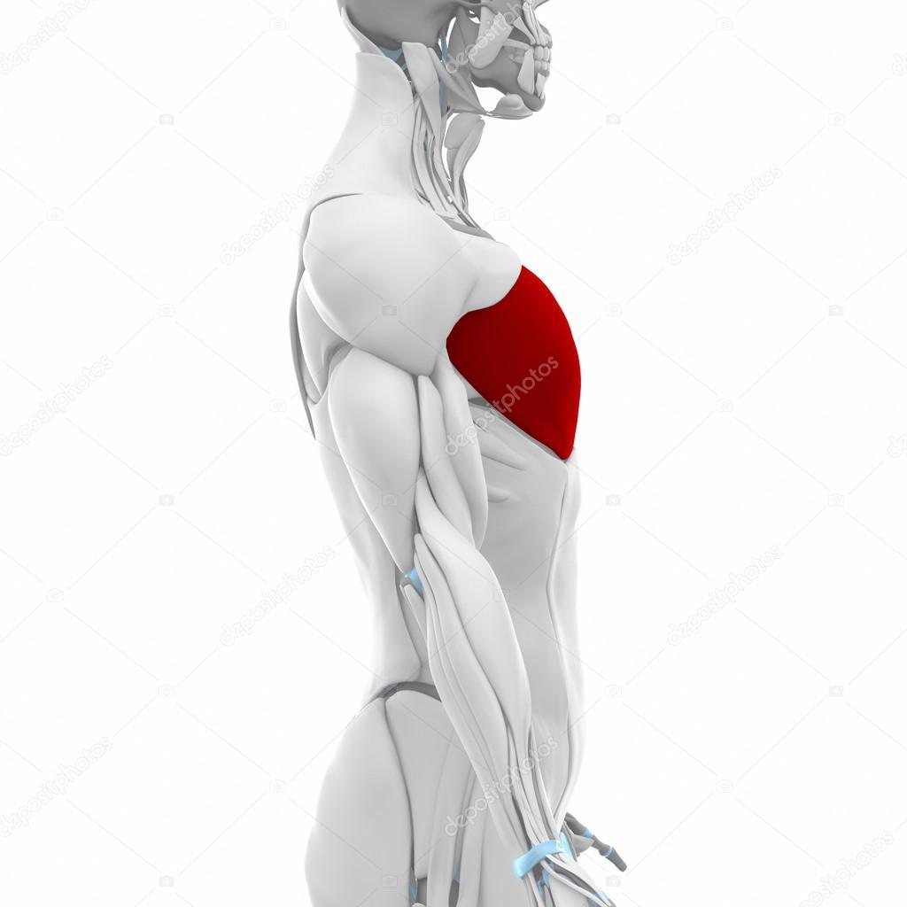 Principales músculos pectoral — Fotos de Stock © CLIPAREA #88087786