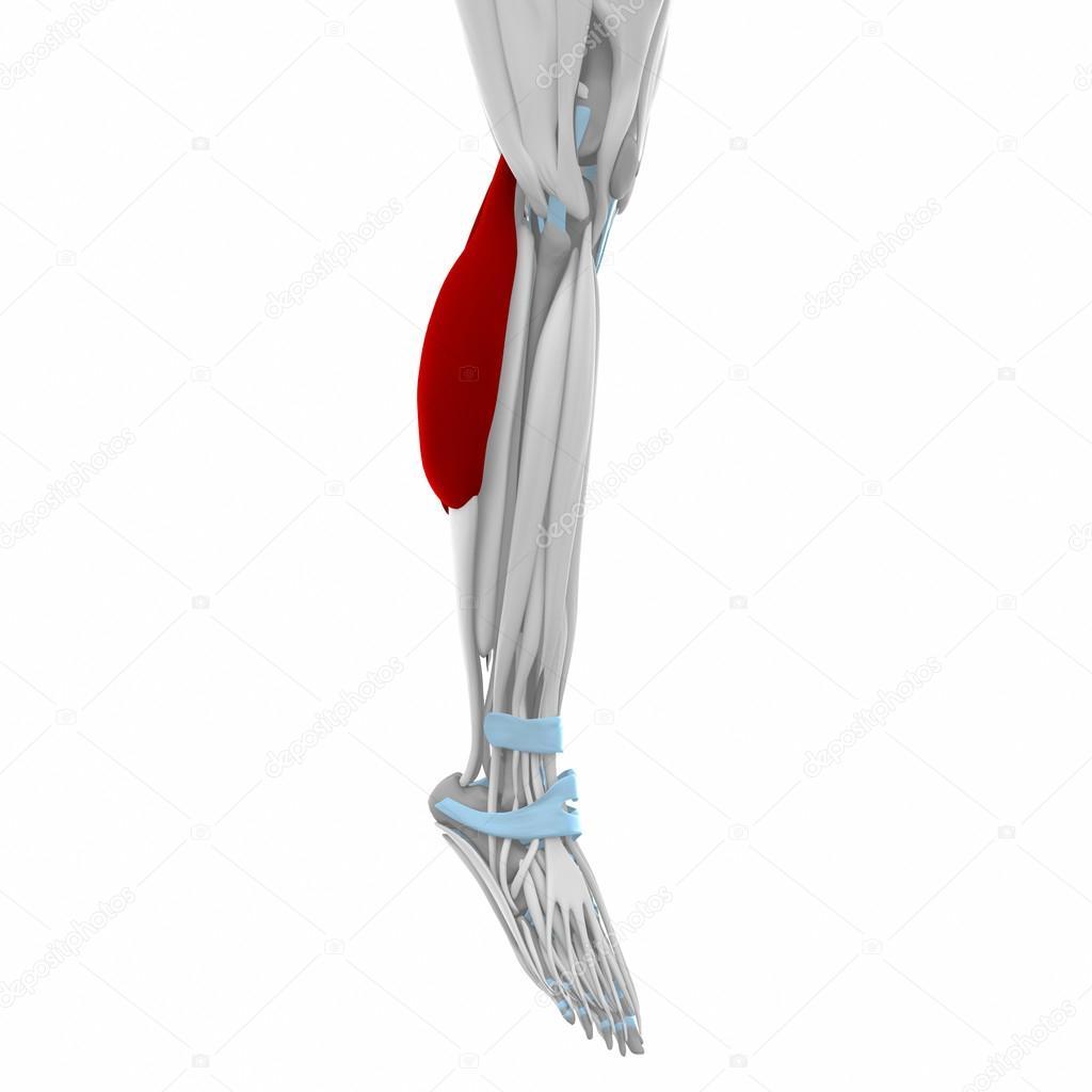 Wadenmuskel - Muskeln Anatomie Karte — Stockfoto © CLIPAREA #88087812