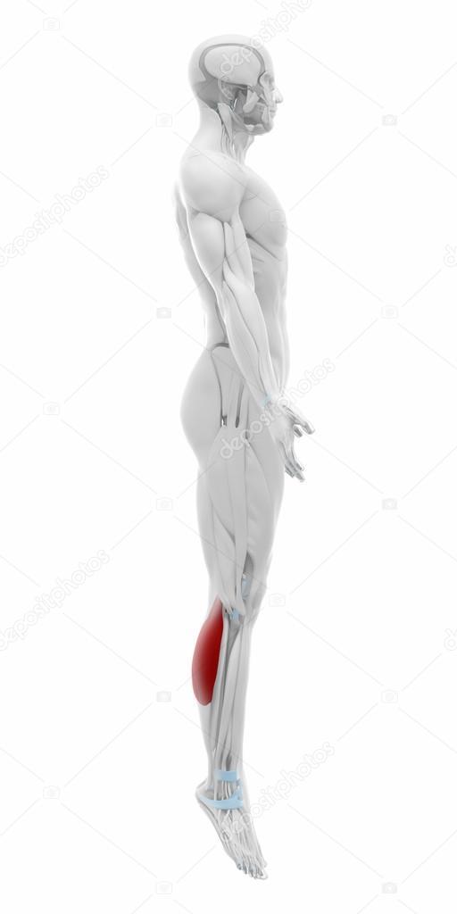 Wadenmuskel - Muskeln Anatomie Karte — Stockfoto © CLIPAREA #88087818
