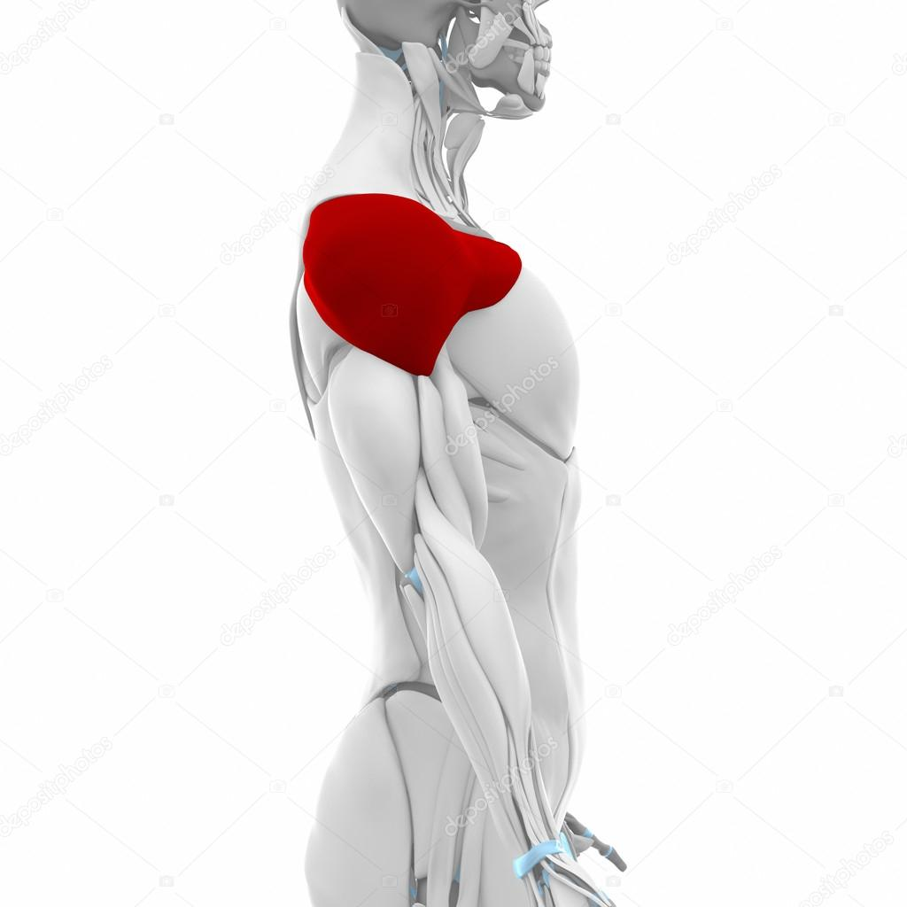 Deltoid - Muscles anatomy map — Stock Photo © CLIPAREA #88087826