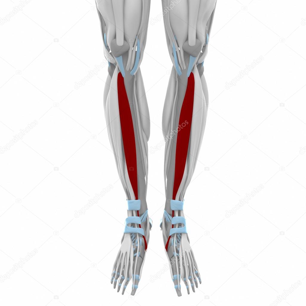 Anterior tibialis spieren — Stockfoto © CLIPAREA #88087834