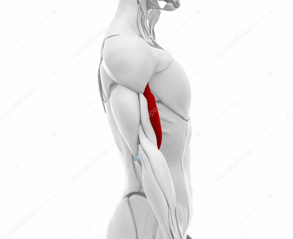 Biceps Brachii Muskeln — Stockfoto © CLIPAREA #88087888