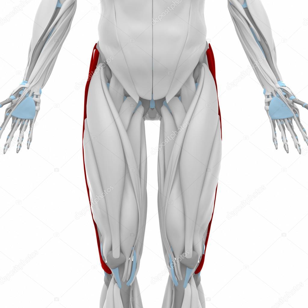 Tractus iliotibialis tract spieren — Stockfoto © CLIPAREA #88087890