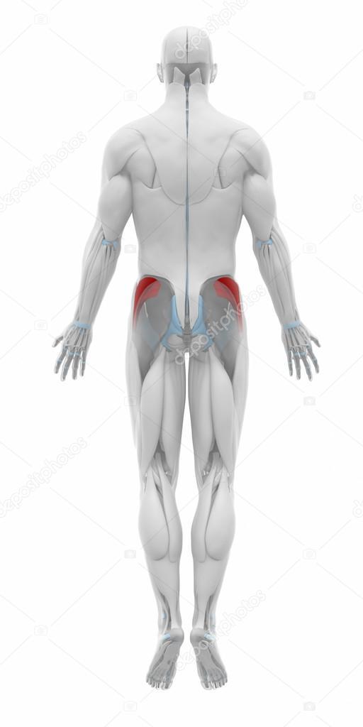Músculos del minimus del glúteo — Foto de stock © CLIPAREA #88087946