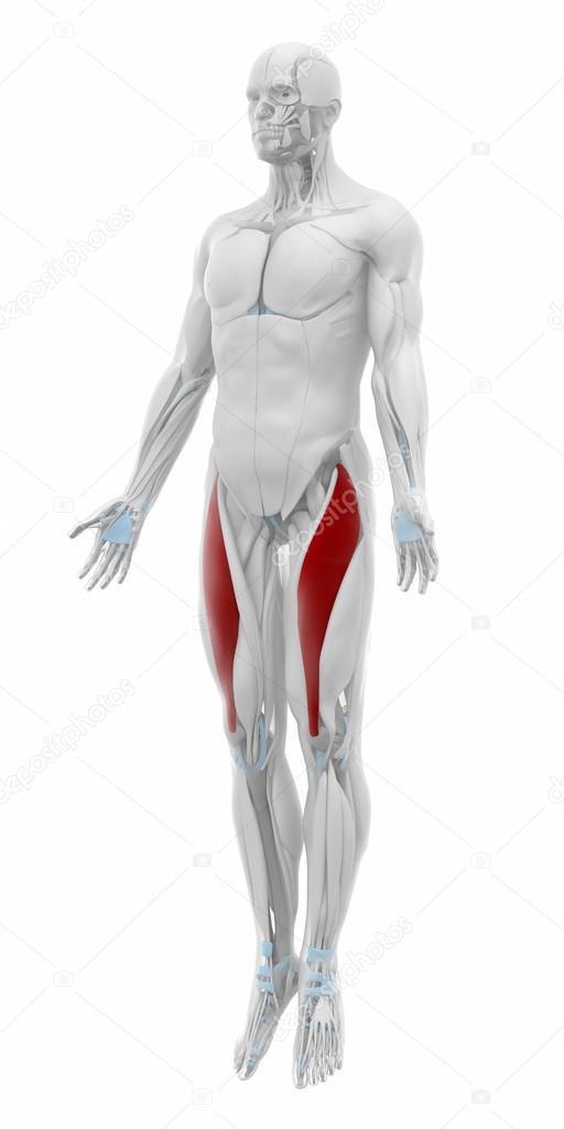 Músculo recto femoral músculos — Fotos de Stock © CLIPAREA #88088014