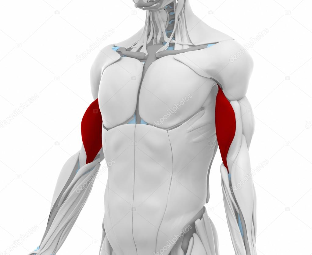 Biceps brachii Muscles — Stock Photo © CLIPAREA #88088016