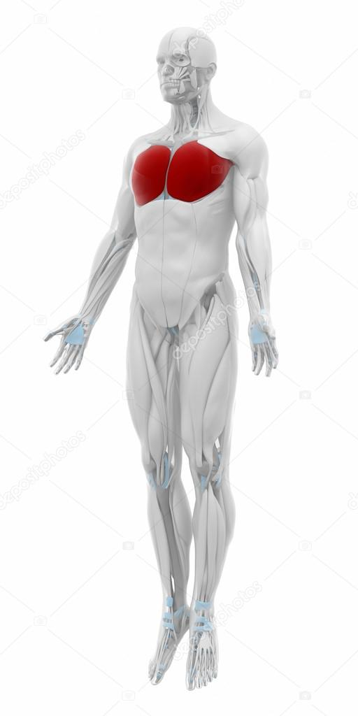 Pectoralis major Muscles — Stock Photo © CLIPAREA #88088038