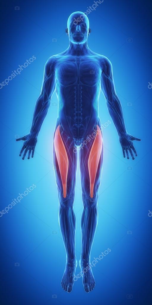 Músculo recto femoral músculos — Fotos de Stock © CLIPAREA #88088048