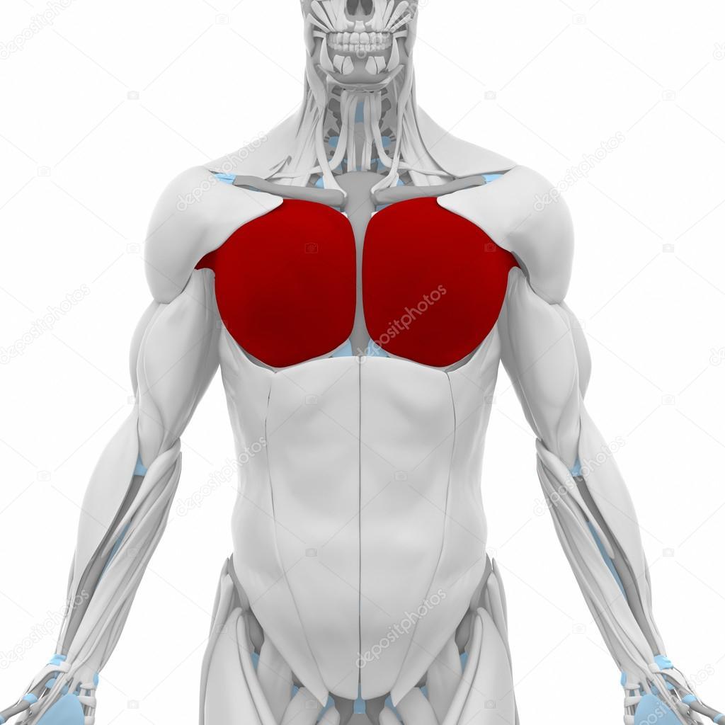 Pectoral mayor - músculos — Foto de stock © CLIPAREA #88088072