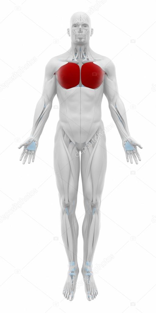 Mapa de anatomía de los músculos — Foto de stock © CLIPAREA #88088082