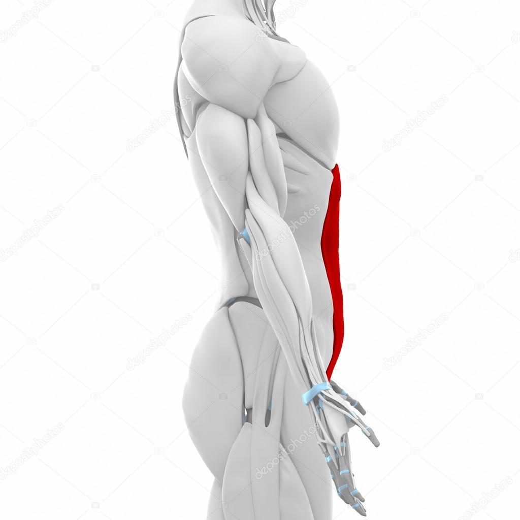 oblicuo abdominal externo — Fotos de Stock © CLIPAREA #88088090