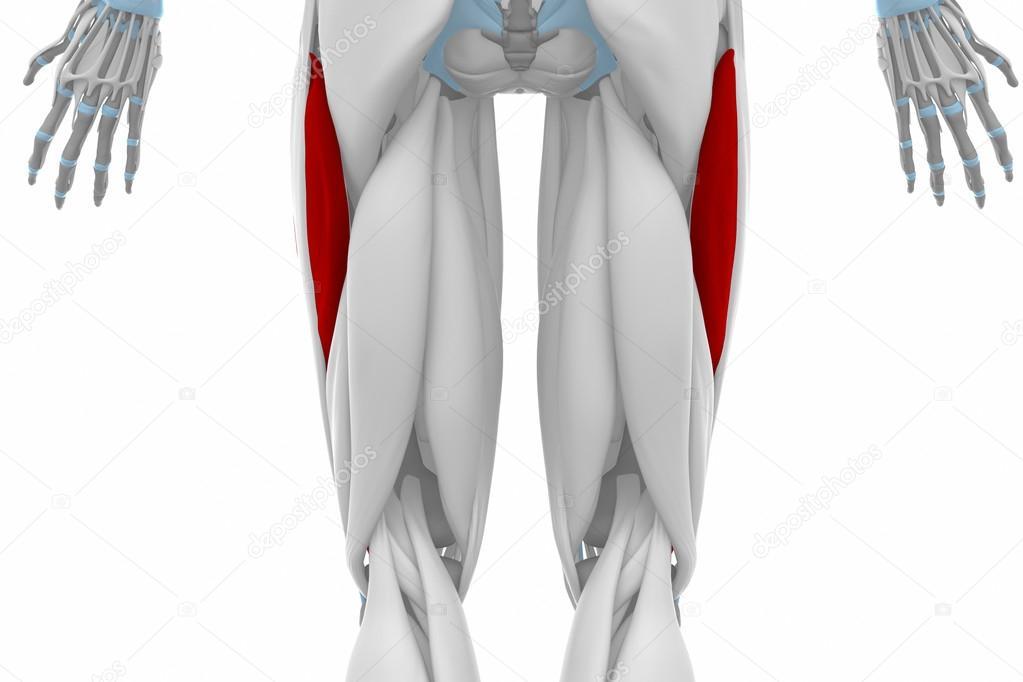 Vastus Lateralis Anatomie — Stockfoto © CLIPAREA #88088226
