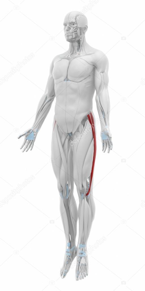 Tractus iliotibialis tract spieren — Stockfoto © CLIPAREA #88088266