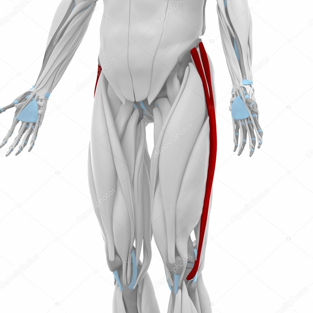 Iliotibial tract Muscles — Stock Photo © CLIPAREA #88088402