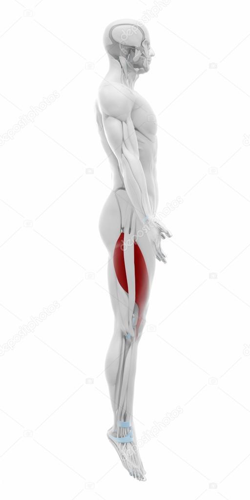 Vastus Lateralis Anatomie — Stockfoto © CLIPAREA #88088462