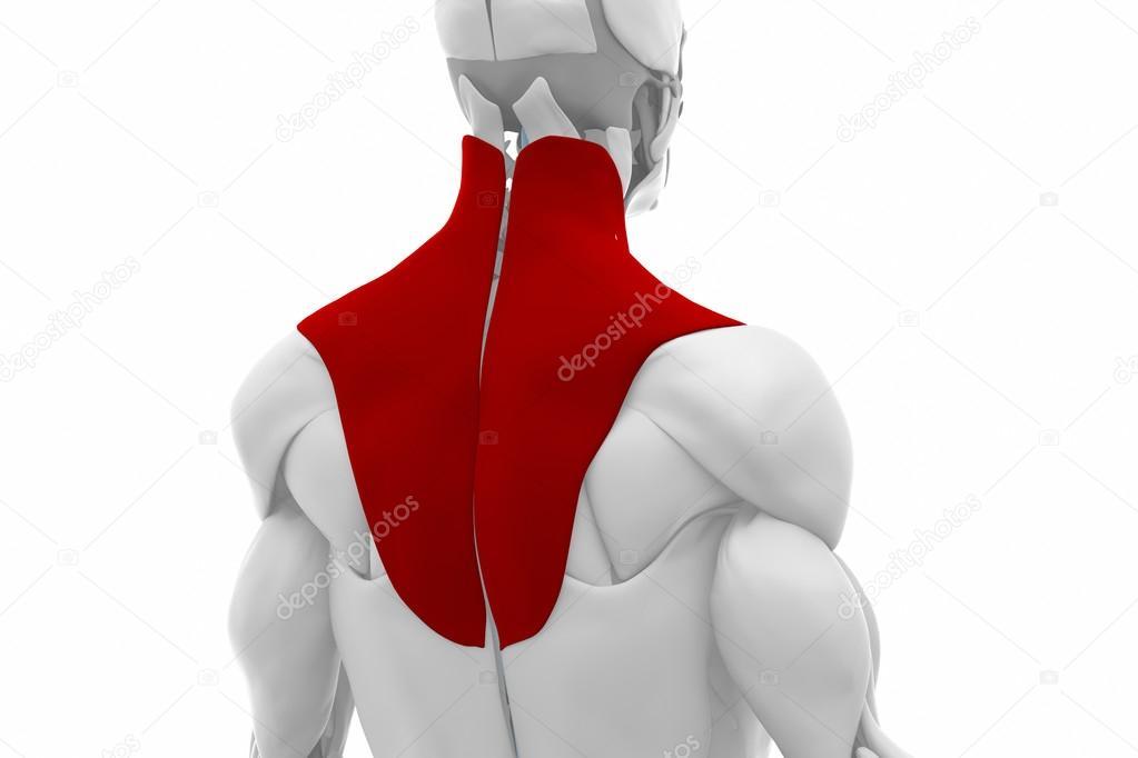 Anatomía del trapecio los músculos — Fotos de Stock © CLIPAREA #88088492