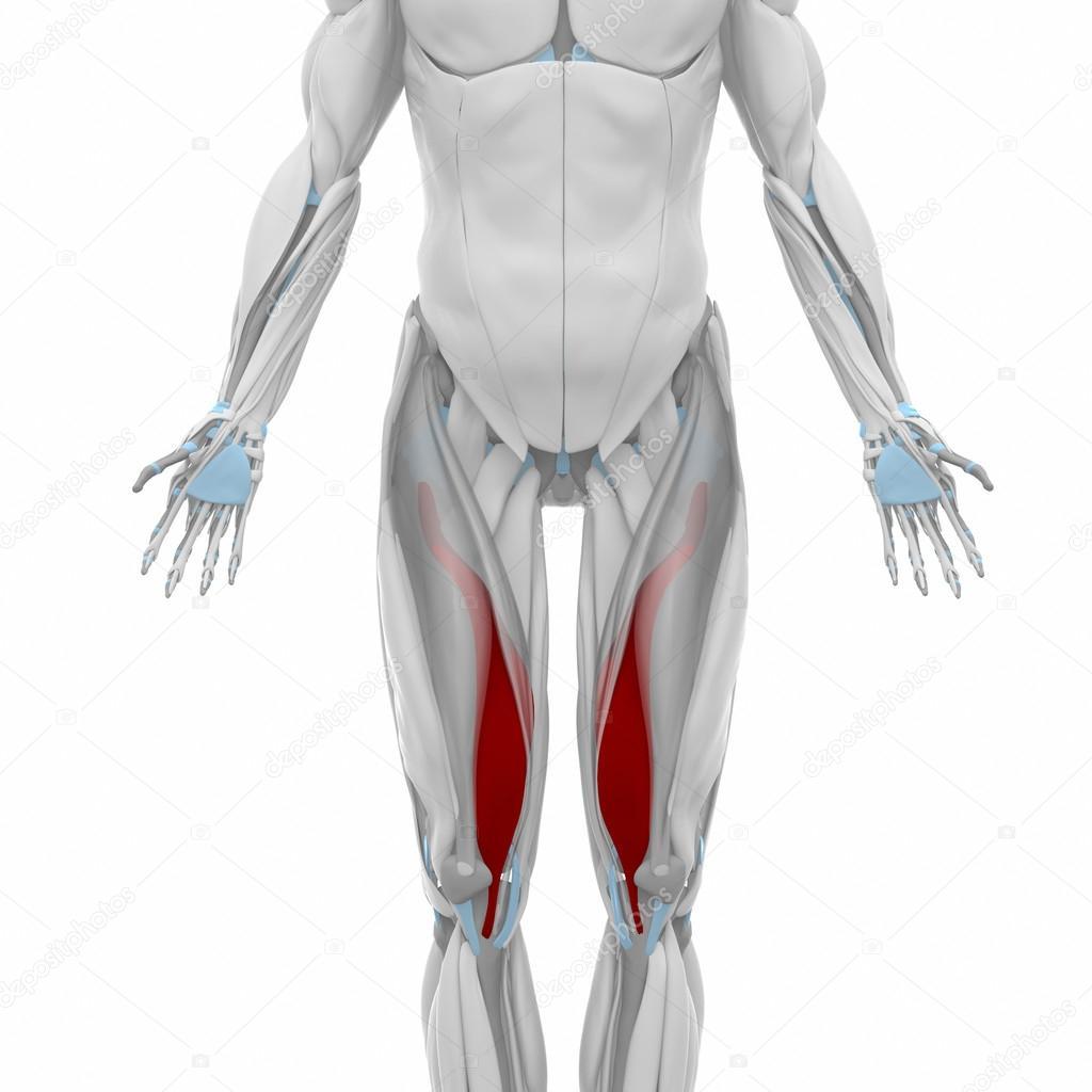 Vastus Medialis Anatomie — Stockfoto © CLIPAREA #88088550