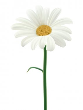 Daisy isolated. Vector illustration
