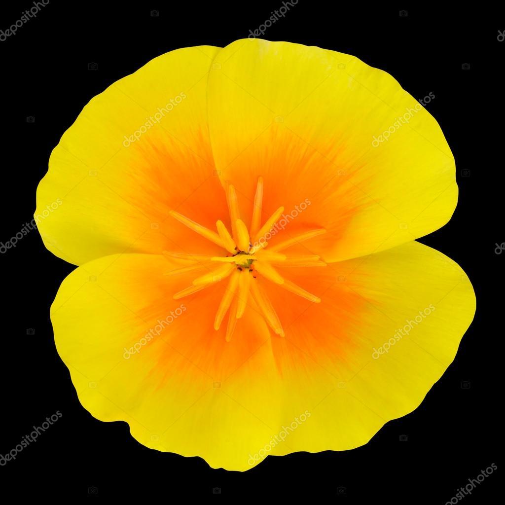 Yellow Wildflower With Orange Center Isolated Stock Photo Tr3gi