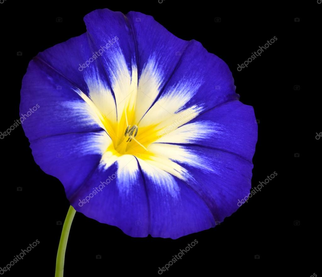 Blue Flower With White Yellow Star Center Isolated Stock Photo