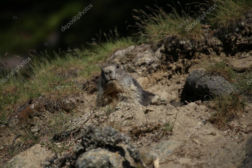 Swiss - Alpen - Marmot