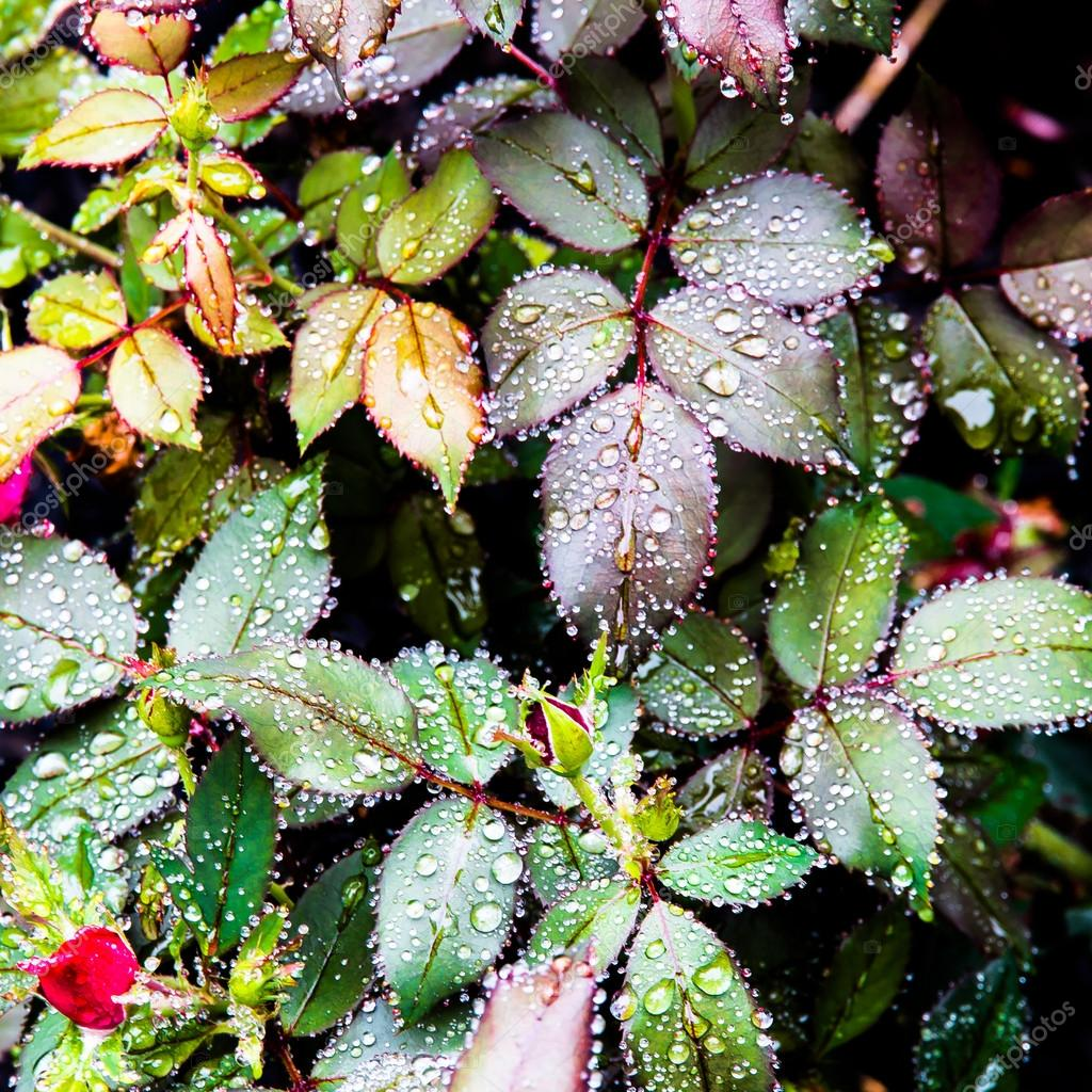 Rose flower leaves after rain