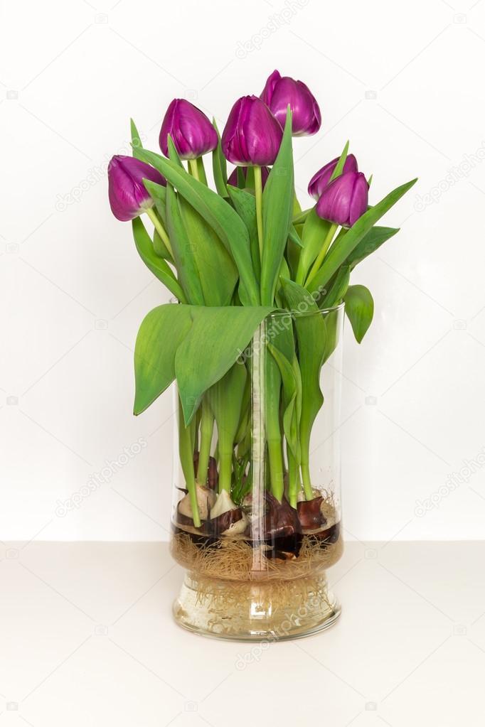 Tulipes magenta qui poussent dans l 39 eau dans un vase de verre bulbes et racines photographie - Plantes qui poussent dans l eau ...