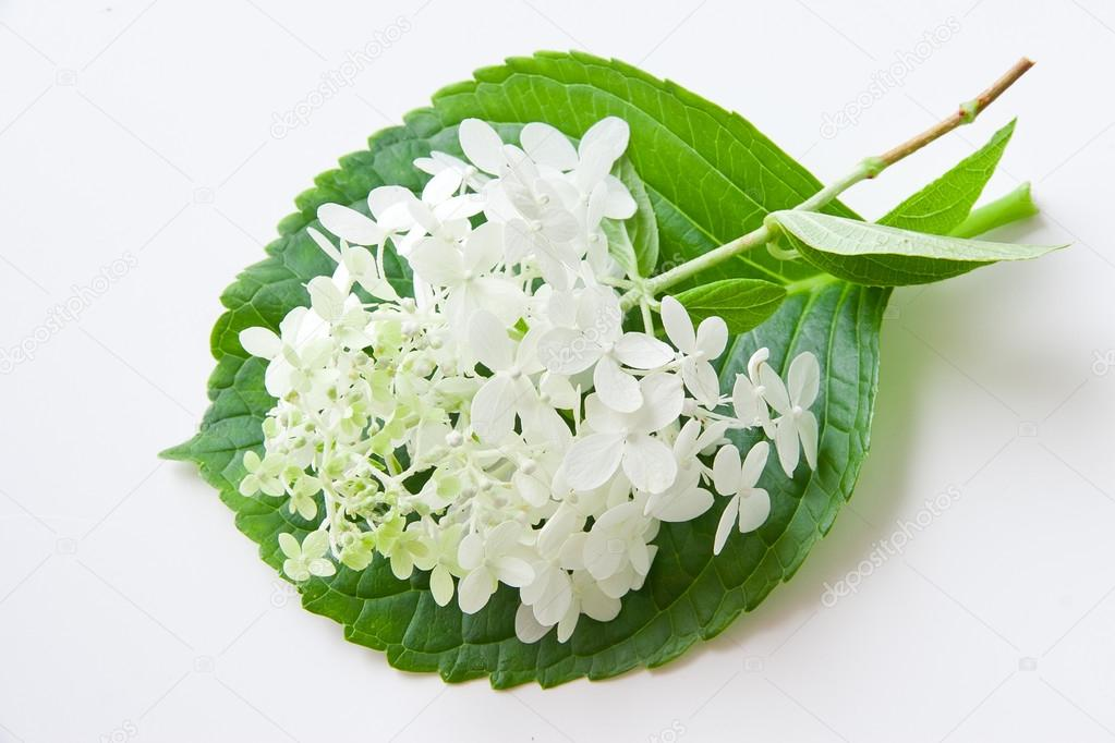 White hydrangea flower on green leaf.