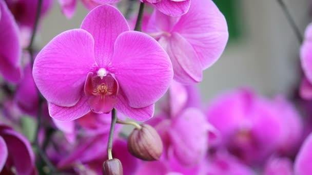 růžová orchidej phalaenopsis květ