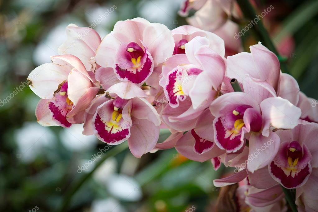 Orchidea cymbidium fiore foto stock aopsan 64007453 for Orchidea prezzo
