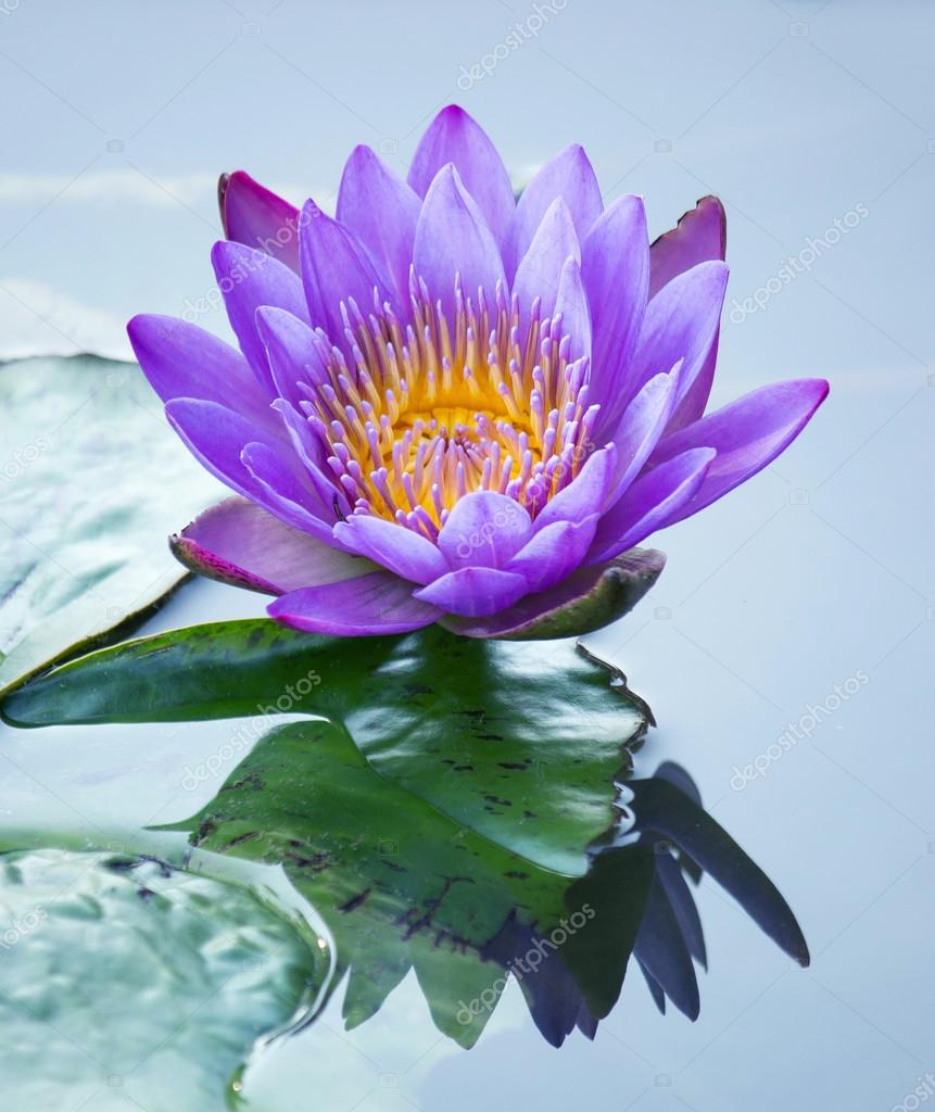 Blue Lotus Flower Stock Photo Aopsan 65211035