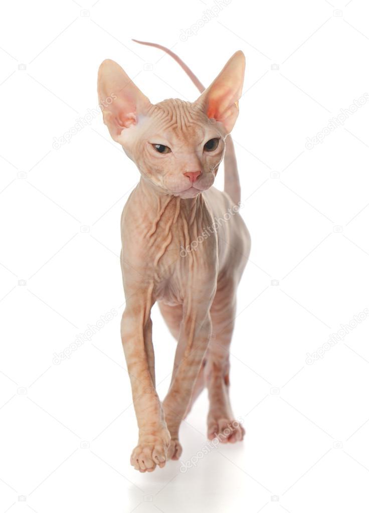 Roztomilá bezsrstá kočička