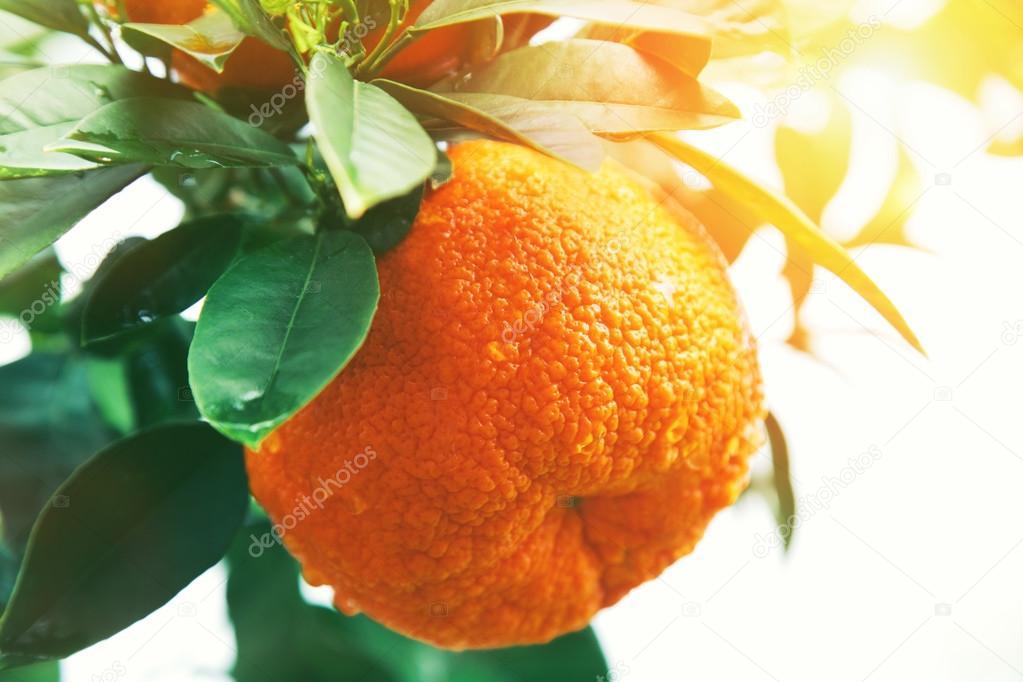 Orange or tangerine on tree