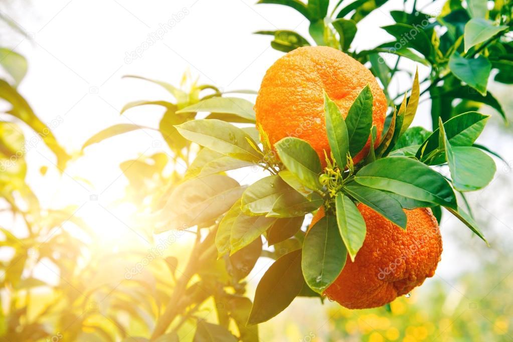 Ripe orange tree