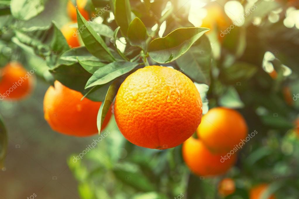 Ripe orange tree