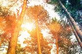 Les s slunce stromy