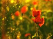 mák virág napsütéses reggel