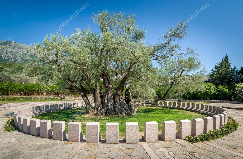 Old olive tree Stara Maslina wich is more than 2000 years old in Montenegro