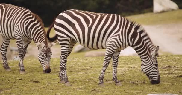 Planiny Zebry pasoucí se v Safari parku