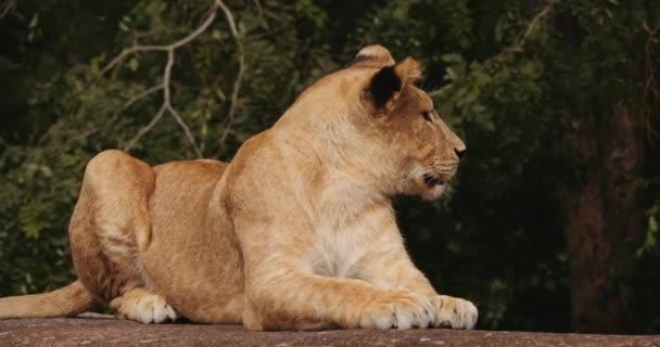 Lev Cub odpočívá na přední straně v Safari parku