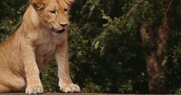 Lví mládě je pohodlné v Safari parku