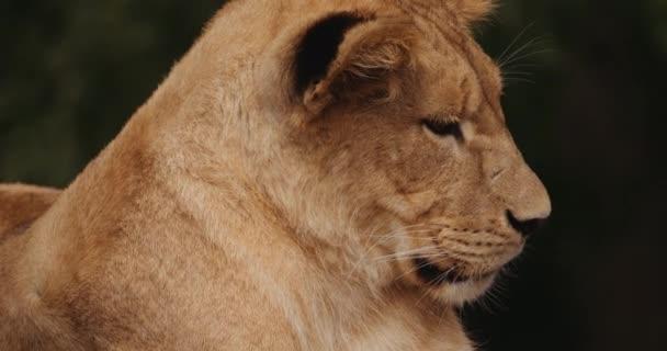 Lví mládě dívá pryč v Safari parku