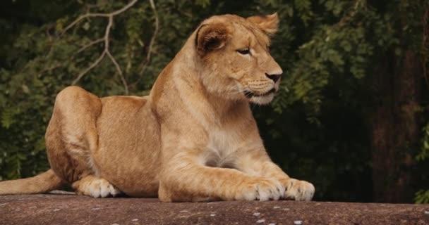 Lev Cub odpočívá na skále v Safari parku