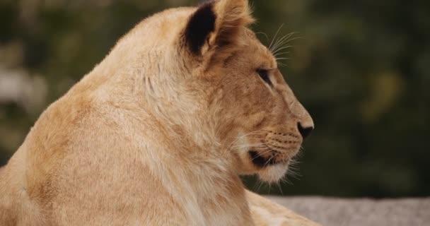 Lion Cub Resting In Safari Park