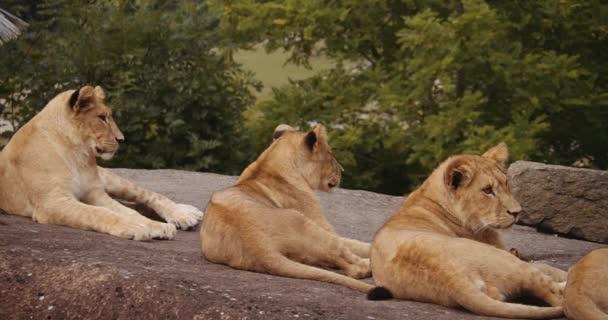 Három oroszlánkölyök a sziklán a Safari Parkban.